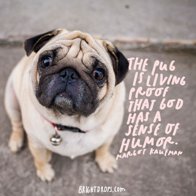 """The pug is living proof that God has a sense of humor."" – Margot Kaufman"