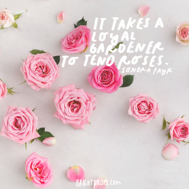 """It takes a loyal gardener to tend roses."" - Sondra Fayr"